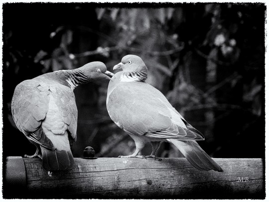 Un couple de pigeon